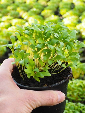 Fresh marjoram herbs growing in pot, held in hand, above other plants
