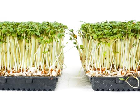 berro: plantas de berro crecen en una pequeña bandeja de negro, hacia el blanco