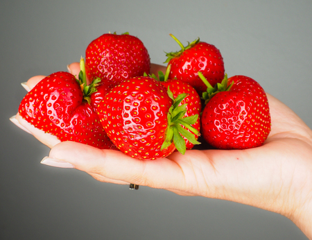 Hand full of big red fresh ripe strawberries isolated towards gray colored backgdrop