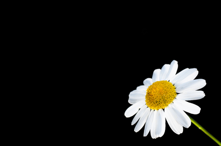 Beautiful daisy flower isolated in bottom right corner, against black with copy space Stock Photo