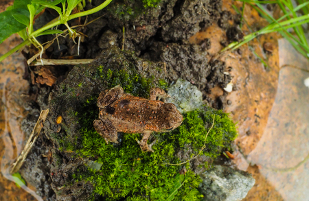 Little common european frog waiting for a leap attack on top of moss over a rock next to water