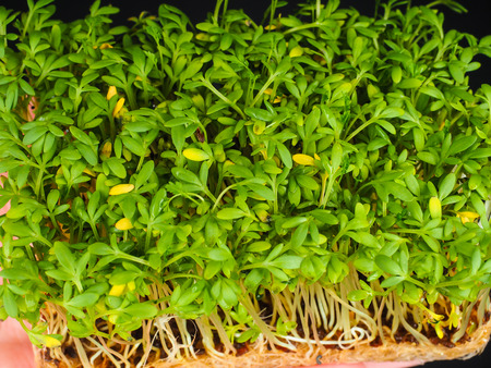 High angle view over cress sprouts at close-up