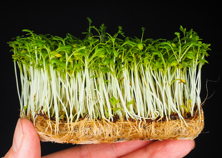 Cress with roots held by fingers isolated on black background