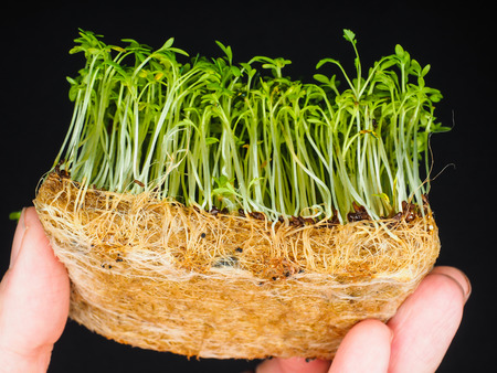 Cress sprouts with root system held between fingers isolated on black Standard-Bild