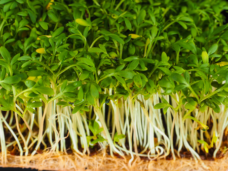 Closeup of cress sprouts from above with roots from above