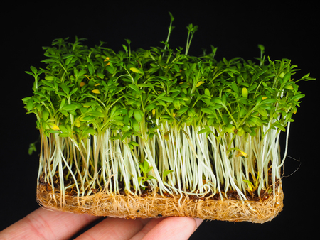 Cress sprouts held on fingers isolated on black background