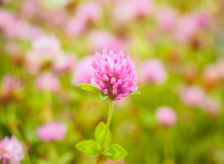 Pink clover flower in center of a field at shallow depth