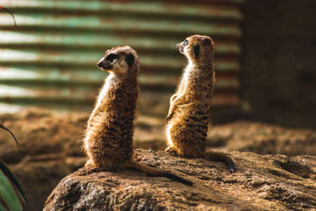 Two meerkats looking out from a rock
