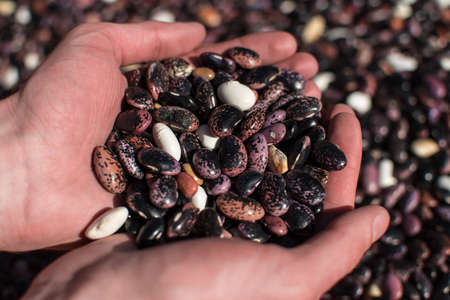 Two hands palming an assortment of colorful dried beans 版權商用圖片
