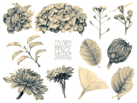 aster: Set of different spring flowers and plants drawn by hand with colored pencils. Pencil drawing. Set of floral elements to create compositions. Toned black-and-white