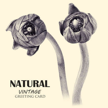 Spring set of buttercup buds drawn by hand with pencil. Botanical natural collection, isolated illustration on white. Tinted black and white Stock fotó