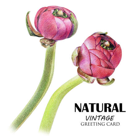 Spring set of purple buttercup buds drawn by hand with colored pencil. Botanical natural collection, isolated illustration on white
