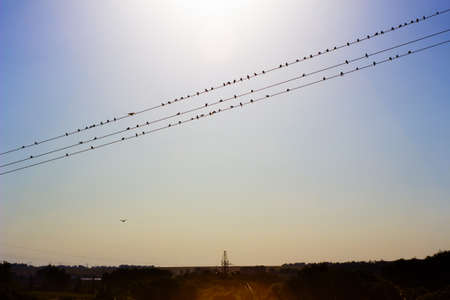 Birds on wires. Rural landscape with flock of swifts. Silhouette of power lines under morning sky