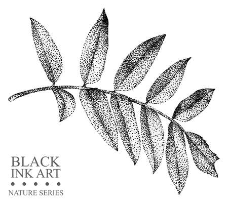 Illustration with leaf of Rowan drawn by hand with black ink. Graphic drawing, pointillism technique. Floral element for design