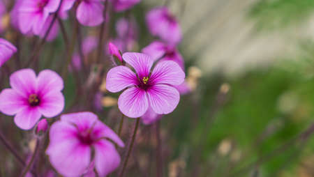 creeping woodsorrel: Pink flowers, oxalis in garden