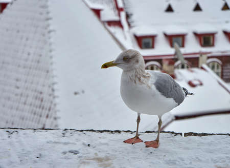 residential construction: Seagull with winter Tallinn at the background, Estonia