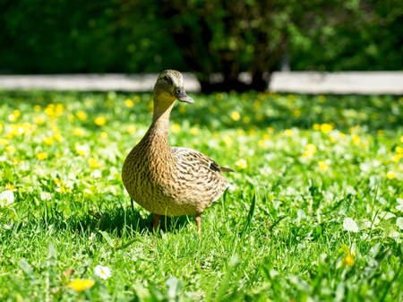 Cute duck on the grass