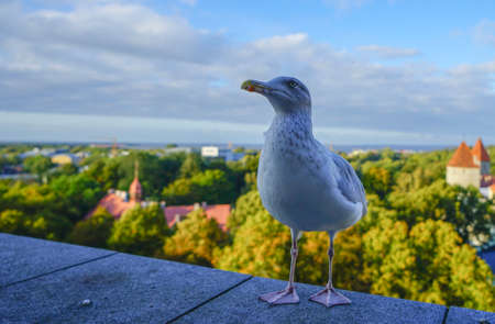 White gull standing in front of the old town of Tallinn in Estonia