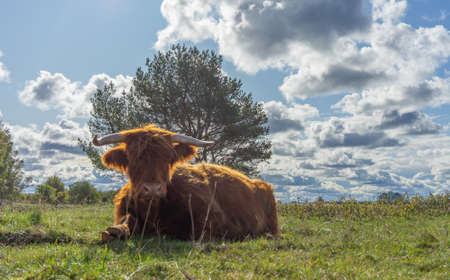 Highlands Cow in the forest