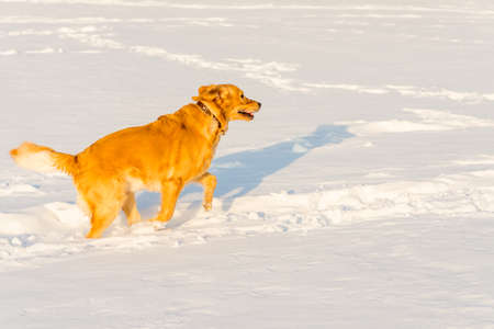 Strong healthy golden retriever runs in a jump. Side view.Winter outside shot.Nice sunny evening.
