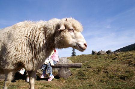 Sheep, Tatry, Poland Stock Photo - 3103658