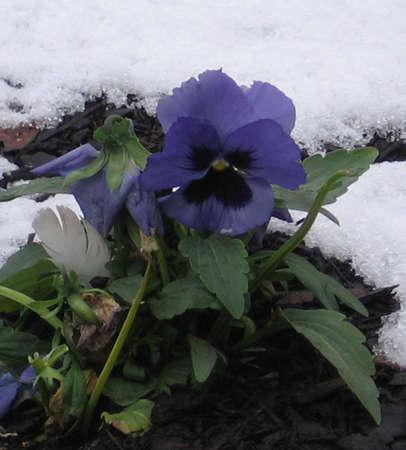 Winter Pansy