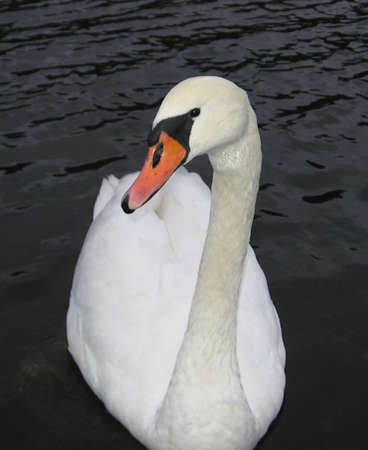 Swan_male Banco de Imagens - 275895