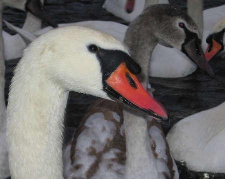 Swan_male female