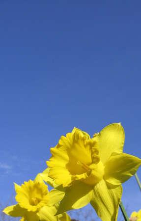 daffodil Banco de Imagens