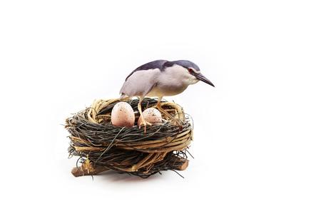 nido de pajaros: un pájaro de la madre está protegiendo sus huevos