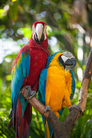 cockatoos: Macaw or Ara cockatoos parrot in zoo Stock Photo