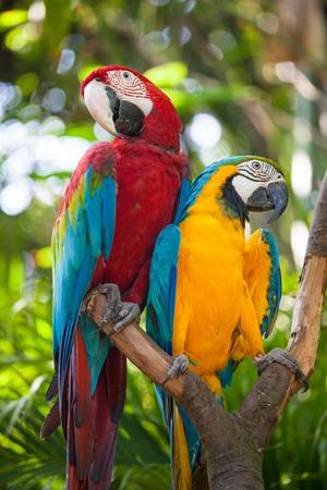 cockatoos: Ara o Ara Cacatua pappagallo in zoo