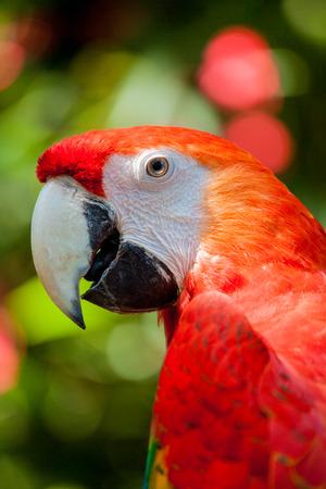 cockatoos: Primo piano della testa ritratto di Red Ara o Ara Cacatua pappagallo in zoo Archivio Fotografico