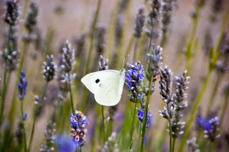 A cabbage butterfly on lavender