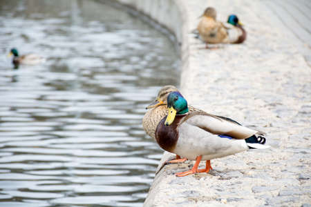 dabbling: Ducks sitting near water