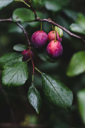 owning: Plum tree in the garden. Toned image, selective focus