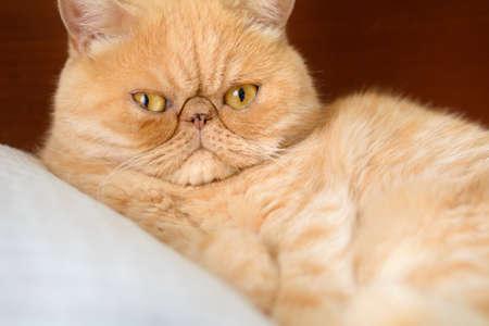 Ginger exotic persian cat portrait. Closeup view, horizontal Stock Photo