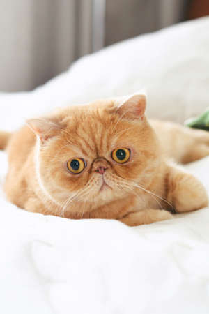 Ginger exotic persian cat laying on bed with playful look