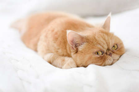 Cute persian cat laying on bed. Closeup view