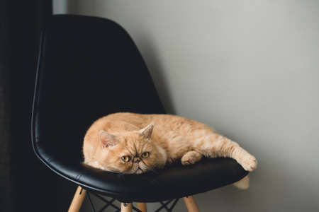Exotic shorthair cat laying on black leather chair. Selective focus, toned image