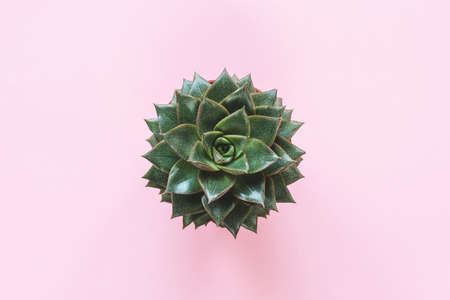 Succulent Plant Stone Rose On Pink Background. Top View