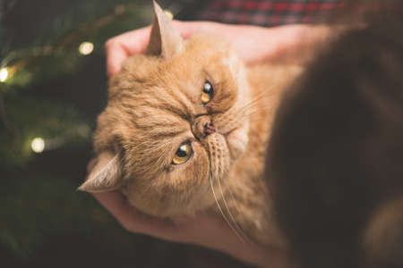 Angry cat on hands. Holding fluffy exotic cat on hands near Christmas tree.