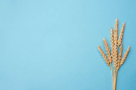 Ears of wheat on blue background with copy space for text. Design template