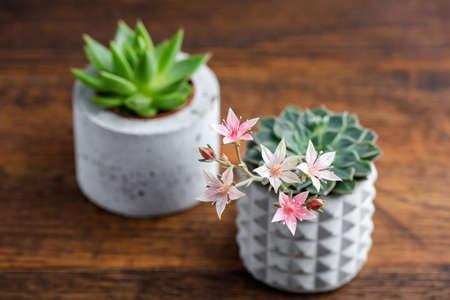 Succulent plants in concrete plant pots on a wooden table. Succulent flower bloom Stock fotó