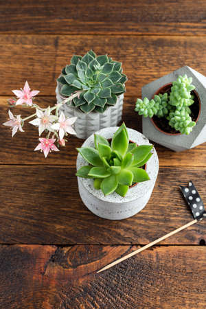 Home interior plants small succulent in concrete plant pot on a wooden background Banque d'images