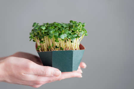 Micro greens, sprouts in female hands