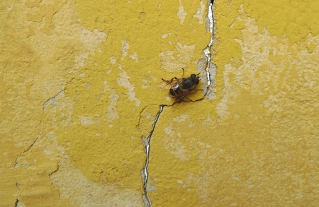 Bee on an old yellow wall