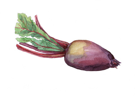 Beet.  watercolor painting on white background. Stock Photo