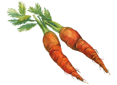 Carrots. watercolor painting on white background