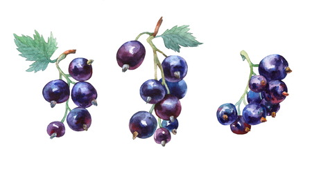 Black currant. watercolor painting on white background.